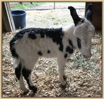 Mossy Oak's Oh Oh Domino, black and white spotted jack